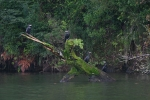 Log Cormorants