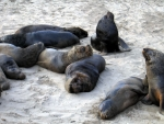 Loveless Sealions